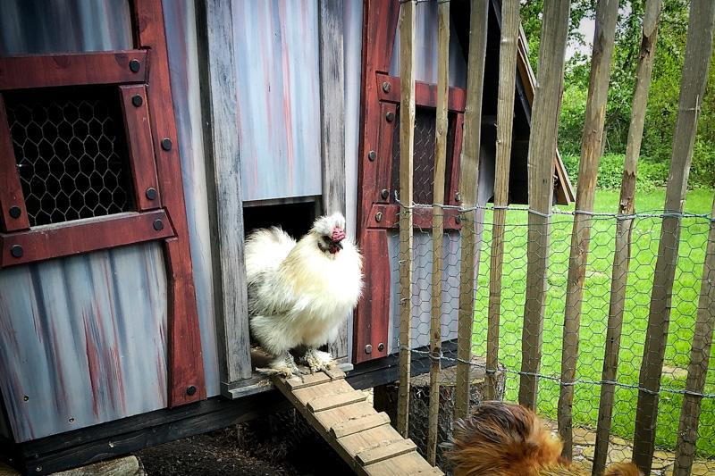 casa chicken abris animaux
